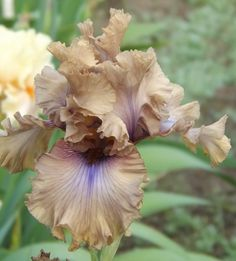 Tall Bearded Iris 'Dragon Dance'. Mocha with a touch of blue.