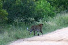 Kruger National Park in Kruger Park, Mpumalanga. The largest game reserve in South Africa, the Kruger National Park is larger than Israel. Kruger National Park, Game Reserve, Leopards, This Is Us, Photographs, Wildlife, Africa, Animals, Animales