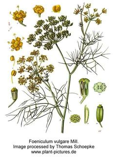 Fennel, Sweet Botanical name Foeniculum vulgare Origin Hungary Method of extraction Steam distillation Major constituents A typical chemical composition of Sweet Fennel Essential Oil: a-pinene myrcene fenchone Fennel Oil, Fennel Seeds, Healing Herbs, Medicinal Plants, Botanical Drawings, Botanical Prints, Fennel Essential Oil, Foeniculum Vulgare, Herbs