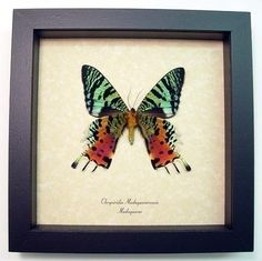 Valentine's Day Gift Real Framed Madagascar by REALBUTTERFLYGIFTS