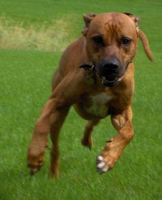Rhodesian Ridgeback  | Rhodesian Ridgeback Dog Breed Puppies