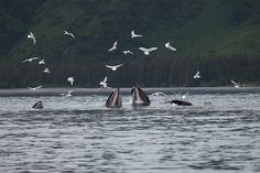 Humpbacks Bubble Net Feeding - Kenai Fjords National Park