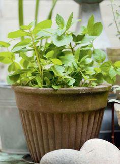 Inkivääriminttu | Maistuvia yrttejä | Koti ja puutarha