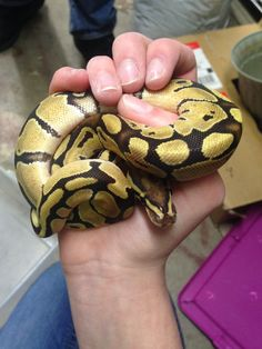Baby fire ball python I had the pleasure of meeting today❤️