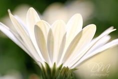 Beautiful simplicity in the light filtering through white petals. From Danelle M Photography.