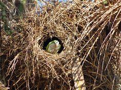 En la boca del nido  Myiopsitta monachus