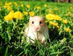 i <3 hamsters