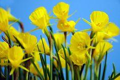 bloembollen planten in het najaar, gemakkelijk