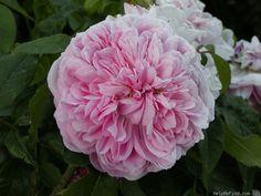 Portland Rose: Rosa 'Robert Perpétual' (France, 1856)