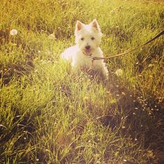 Name; Harrison, Breed: West Highland White Terrier