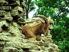 'Barbary Sheep 2' Fine Art Photography by Margaret Newcomb. This shot was taken at the Niabi Zoo in Coal Valley, Illinois. It is 1 of 3 prints available. #Barbary #Sheep #FineArt #NiabiZoo Visit my Fine Art Store to purchase Prints: http://margaret-newcomb.artistwebsites.com/art/all/all/framed+prints