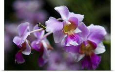 Solid-Faced Canvas Print Wall Art Print entitled Vanda orchids in orchid garden, Singapore Vanda Orchids, Orchids Garden, Canvas Wall Art, Wall Art Prints, Poster Prints, Nature Vs Nurture, Orchid Care, Types Of Plants, Houseplants
