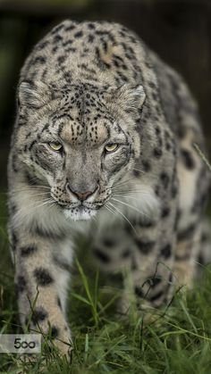 Snow Leopard by Colin Langford