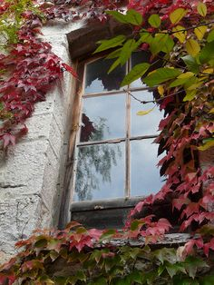 Ivy covered cottage windows.