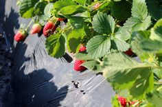 Strawberries in the field, near Plant City, Fla.