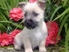 Cairn Terrier | Cairn Terrier  I so want this type of dog