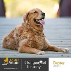 Paws what you're doing right now, and look at Dexter! Happy #tongueouttuesday😜 #adoptdontshop #rescuedog #goldenretriever Dexter, Rescue Dogs, Adoption, Animals, Fun, Foster Care Adoption, Animales, Dexter Cattle, Animaux