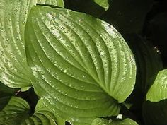 List of Hostas with full sun tolerance potential, and part sun tolerance. from - Perfect Perennials. Full Sun Flowers, Full Sun Plants, Sun Loving Plants, Sun Garden, Shade Garden, Garden Plants, Hosta Plants, Shade Plants, Outdoor Plants
