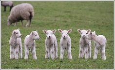 SHEEP! Lambs, even! #love
