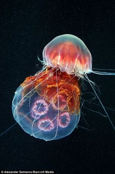 A Lion's Mane jellyfish wraps its tentacles around a Moon jellyfish, which it is devouring
