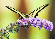 Tiger Swallowtail by Al Sinclair