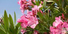Le laurier rose est un arbuste d'une grande beauté dont il existe de nombreuses variétés, à fleurs s