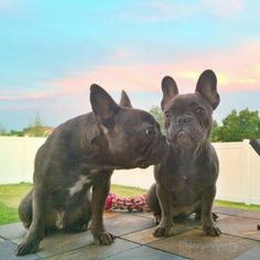 French Bulldogs ❤