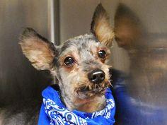 Safe***BENJI – A1053082   Help us Save NYC AC&C Shelter Dogs