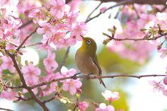 桜とメジロ Japanese white-eye with cherry blossoms