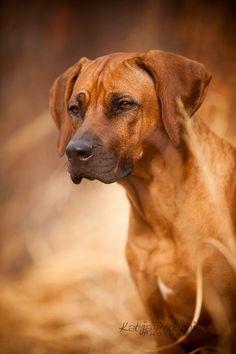 'Proud Girl' Rhodesian Ridgeback Indie Puppy - by Sensenfrau