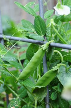 sugar snap pea - shelling type. My grandson eats these in the garden when he comes over. I open it up and he picks the tiny peas out of the pod. They are great for stir fry or a school lunch snack.