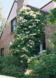 A home blanketed by a climbing hydrangea. A highly underused self-supporting perennial vine. Yes it is an actual hydrangea, and, as advertised, it grows good here! Hydrangea Shade, Climbing Hydrangea, Climbing Flowers, Climbing Flowering Vines, Hydrangea Plant, White Hydrangeas, Climbing Vines, Diy Garden, Shade Garden