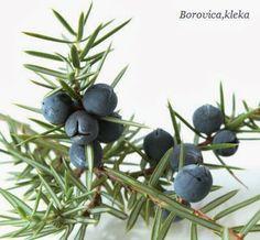 Kleka biljkaje izuzetno lekovita i u te svrhe koristi se zreo,bobicast plod ovog zimzelenog grma.Njena druga narodna imena su :venja,borovica,klekovina,borovac,smreka,klekinje,smrekinje itd.KLEKA LEKOVITA SVOJSTVAKleka biljka sadrzi 0,5-2% etericnog ulja ciji su gla
