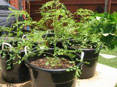 Moringa 2 month - GardenWeb - plant moringa olifeira from seed/cutting