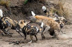 Surrounded by the snarling canines, the chances of the hyena – who was fighting for his life – escaping unscathed looked bleak. But we might actually take a mental note of what he did to escape.