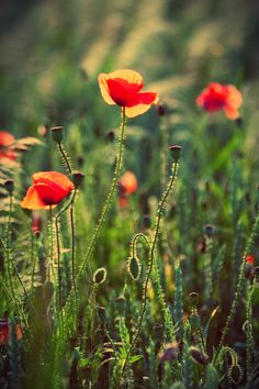 flower meadow ~ Quilt color inspiration ~ poppy red, yellow, greens, a light shade of heathery purple