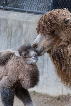 Baby Male Bactrian Camel - - of Bactrian Camel, Camelus, Baby Camel, Animals Of The World, Cute Baby Animals, Animal Photography, Animal Kingdom, Animals Beautiful, Mammals