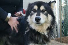 Chinook is a beautiful 1-1/2 year old alaskan malamute.  She's energetic and full of life, great with people.  She tends to pick and choose her doggie playmates.  She's looking for her forever home, and is available for adoption at Husky Haven of...