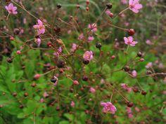 Talinum Limon - Jewels of Opar Annual Plants, Summer Flowers, Perennials, Planting Flowers, Seeds, Bloom, Image, Balcony Ideas, Gardening