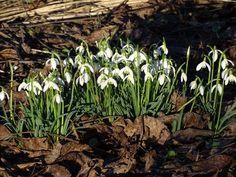 Das Schneeglöckchen. Die Schneeglöckchen.  Die Schneeglöckchen sind willkommene Frühlingsboten.  Wenn sie blühen ist der Winter bald vorbei.