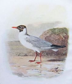 seabird illustrations - Bing Images