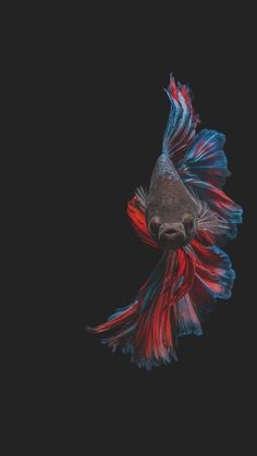 Pretty Fish, Beautiful Fish, Colorful Fish, Tropical Fish, Beautiful Creatures, Animals Beautiful, Betta Fish Tattoo, Fish Wallpaper, Beta Fish