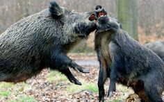 Wild boar fighting