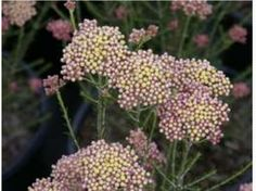 Ozothamnus hybrid 'Colour Surprise' – Rice Flower, sago flower flower - yellow and pink Australian Native Garden, Colorful Flowers, Rice, Landscape, Flower Colour, Flower Gardening, Plants, Landscaping Ideas, Coast