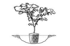 Step 2: Dig a Hole - How To Plant a Japanese Maple Tree - Southernliving. Dig a hole three times as wide as the root-ball and slightly shallower. Place the tree in the hole. The top of the root-ball should be a little higher than the surrounding soil (as you would plant an azalea). Add a small amount of slow-release fertilizer to your soil. Fill in around root-ball with the surrounding soil, firm, and water well.