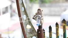 Monkey at Batu Caves - Stock Footage | by JahnProductions