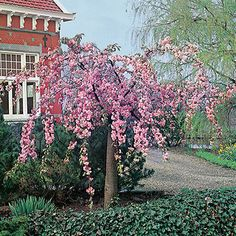 Cheal's Weeping Cherry Pot - Prunus Kiku-shidare-zakura By Frank P Matthews™ Dwarf Cherry Tree, Weeping Cherry Tree, Weeping Trees, Blossom Trees, Pink Cherry Blossom Tree, Prunus, Deciduous Trees, Small Gardens, Front Gardens