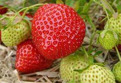Erdbeeren richtig pflanzen