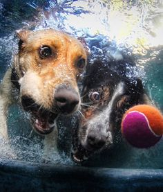 two dogs chasing tennis ball underwater by seth casteel
