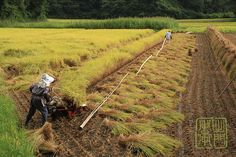 Row by Row | Harvesting Rice the tradational way. Chiba Japa… | Flickr